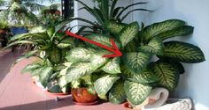 """Warning: This Plant In The Home Can Kill A Child In Less Than A Minute And An Adult In 15 Minutes!-// """"I lost my angel . She mistakenly swallowed a piece of poisonous plants and her tongue went . Belive In, Household Plants, Poisonous Plants, Green Plants, Pot Plants, Natural Medicine, Houseplants, Indoor Plants, Gardening Tips"""
