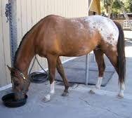 Image result for nez perce horses