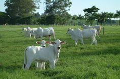 A VOZ DA SELVA AMAZÔNICA: OS BEZERROS CAVALOS Meu avô, incumbiu-nos de prender o gado todos os dias, coloca-los no curral, e isso é tarefa que se faz de segunda a segunda, prende-se eles à tardinha e solta-os de manhã cedinho. Ele queria que começássemos a aprender viver e fazer as coisas que todo caboclo faz, inclusive tirar leite das vacas, o que muito me aterrorizou, nunca havia pegado nem numa corda, que dirá ter que laçar uma vaca brava para trazê-la pra dentro do curral...