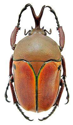 Eudicella euthalia Bates, 1881-(Scarabaeidae) Congo D.R., Kivu, II.2002