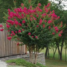 RED Crape Myrtles Available as Miniatures, Dwarves, Medium Height or Standard Trees. - The Crape Myrtle Company Crepe Myrtle Trees, Landscape Design, Garden Design, Desert Landscape, Lagerstroemia, Baumgarten, Garden Trees, Small Trees, Trees And Shrubs