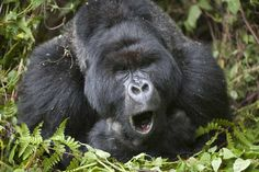 Humming their individual songs may be a way for gorillas to communicate dinner times and contentment with their meals