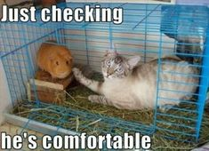 Hahaha Funny: Cats, Funny Animals, Funny Cat, Funny Stuff, Funnies, Humor, Guinea Pigs