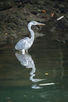 Grey Heron #Heron #bird #nature #wildlife #wild #animal #photography #Singapore #Asiabird #Nikon #park