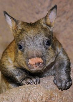 Endangered Baby Northern Hairy-Nosed Wombat - DONT 4 GET - ITS WOMBAT'S AT THE MOMENT...a.l.s