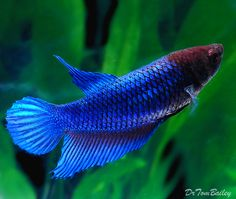 Here are some pictures of our Female Bettas, and we have lots of Female Bettas with excellent coloration. Description from aquariumfish.net. I searched for this on bing.com/images
