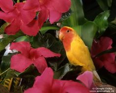 Tropical Yellow and Red Bird — Animal Talk Tropical Animals, Tropical Birds, Exotic Birds, Inspirational Pics, Parakeet, Bird Species, Butterflies, Feather, Google Search
