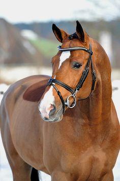 """ladydressage: """" Catoki- 1998 bay 16.2hh Holsteiner Stallion """""""