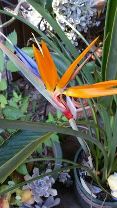 Bird of Paradise, my Garden