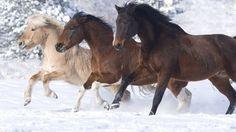 karda görkemli atlar vektör