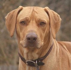 Rhodesian Ridgeback. BEAUTIFUL!