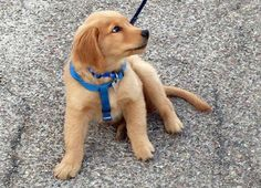 Simba the Golden Retriever puppy