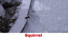 Squirrel fighting