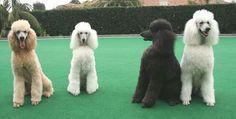 Smiling poodles