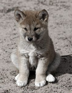 Cool Pictures Of Wolves