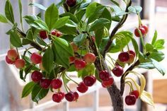 Your garden is too small to grow fruit? You Can Grow This 10 Fruits in Containers - Gardening Tips Planting Cherry Trees, Growing Cherry Trees, Potted Trees, Growing Tree, Cherry Plant, Cherry Cherry, Indoor Vegetable Gardening, Organic Gardening Tips, Container Gardening