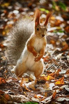 Autumn, Squirrel long Earead