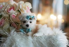 Manny the Maltese Puppy For Sale #maltese #puppy #dog #forsale #sale #pet