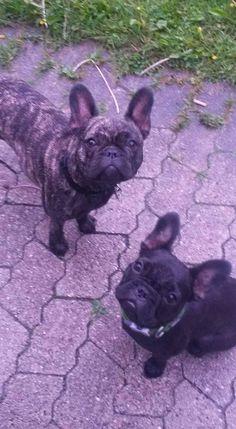 French Bulldog Puppies, the dailyfrenchie