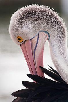 San Remo Pelican by Lisa Kenny
