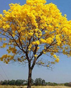 Um ipê amarelo para lembrar que a primavera está chegando.  @OlhardeMahel #primavera2016 #primavera #ipê #ipêamarelo #flores #OlhardeMahel #flowers #cores #image #colorido #alegria #instagram #facebook #pinterest #pimagens #fotografia #photography