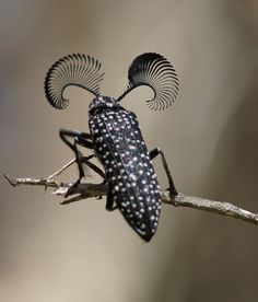 Feather Horned Beetle with Long Bushy 'Eyebrows'(Rhipicera femorata) by thefeaturedcreature: Males use their fantastic (hah!) antennae to locate a female feather-horned beetle that's emitting pheromones which indicate she is ready for mating. Photo by ron Cool Insects, Bugs And Insects, Beautiful Creatures, Animals Beautiful, Bushy Eyebrows, Cool Bugs, A Bug's Life, Beetle Bug, Beetle Insect