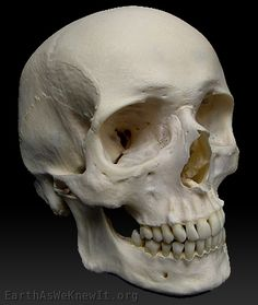 real human skull no jaw - Google Search