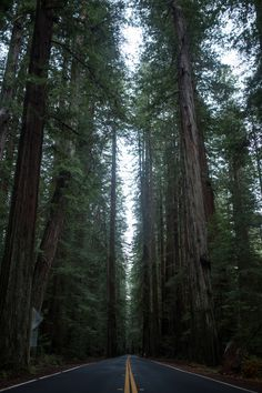mikeyhuff:  Avenue of the Giants.