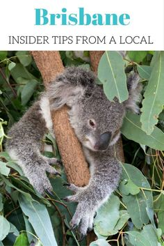 Koala in Lone Pine Koala Sanctuary | Article: Brisbane, Australia - insider tips from a local. The best time to travel there, accommodation, restaurants and sights.