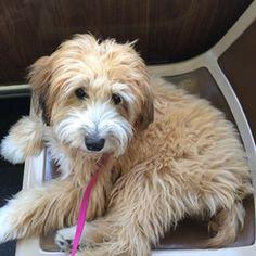 Whoodle (Poodle + Terrier irlandés de manto suave color trigo) | 19 Inusuales cruces de perros que demuestran que la raza no es lo más importante