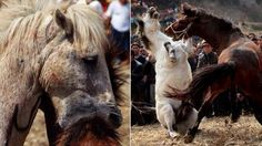 PETITION, PLEASE SIGN AND SHARE! Philippines: Horses are forced to fight each other so people can be entertained! Act Now! | YouSignAnimals.org