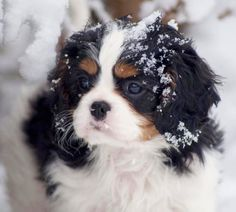 Beautiful Cavalier King Charles Spaniel Baby ♡♥♡♥♡♥♡
