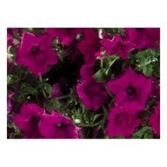 Petunia Surfinia Giant Purple Petunia Surfinia, Pink Roses, Purple, Plants, Beautiful, Fall Back, Replant, Plant, Viola