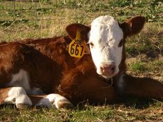 Herefords - by far the most magnificent breed in the world.