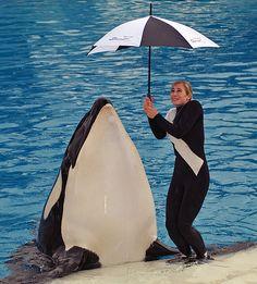 Tilikum Orca, Sea Whale, Seaworld Orlando, Cute Whales, Killer Whales, Animal Tattoos, Animal Kingdom, Dolphins, Downtown Disney