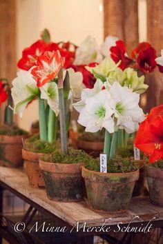 Amaryllis | blomsterverkstad