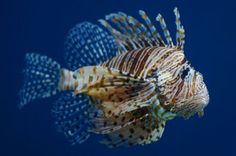 How Can We Stop Lionfish From Taking Over Our Oceans? Eat Them.