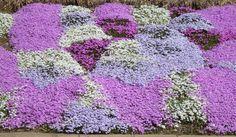 Perennial Photos   Peony, Phlox, Salvia, and Sedum
