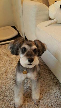 Mシュナウザー Schnauzer Grooming, Miniature Schnauzer Puppies, Schnauzer Puppy, Pet Grooming, Dog Haircuts, Dog Store, Memphis, Annie, Fur Babies