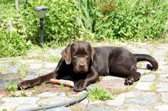 Chocolate Labrador Retriever http://www.meinwortreich.de/k2-2/mein-tierreich/schokolabbys/schokolabby-storys/item/164-beste-freunde