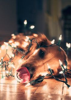 Golden Retriever Wrapped in Christmas Lights - With tongue out!