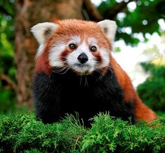 red pandas are my favorite wild animals.