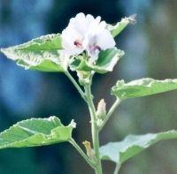 """Heemst    Althea Officinalis      Algemeen    Heemst bevat een geneeskrachtige slijmachtige stof. De Latijnse naam """"Althea"""" komt van het Griekse """"altho"""" (genezen). De plant stamt uit China, maar was al bij de oude Egyptenaren in gebruik. Hij werd gekweekt vanwege zijn zoete wortels, waarvan snoepgoed (marshmallows) werd gemaakt.  Eigenschappen    Verzachtend, het klassieke verzachtende middel, voedend.                    http://www.kruidengeneeskunde.be/heemst.html"""