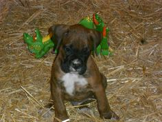 Our precious boxer baby.  Double H Boxers