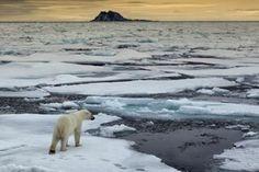El calentamiento global amenaza al oso polar