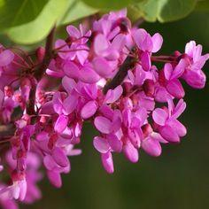 Le Cercis siliquastrum, idéal dans les petits espaces  En Mars-Avril, ce petit arbre se pare de magnifique fleurs roses. La floraison de l'Arbre de Judée est parfumée et mellifère. Elle donne de superbes rameaux entièrement fleuris. Les feuilles aparaissent ensuite. Celles-ci deviennent dorées durant l'automne.Sa culture facile, la floraison abondante et la taille réduite font de l'Arbre de Judée un élément adaptable à tous les jardins, même les petits.