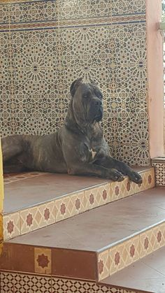 From ' Cane Corso Club of America '