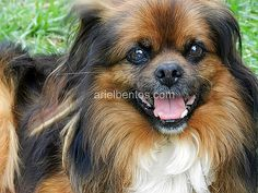 Serie Animales. Dulce Perro Pekines. Animals series. Sweet Pekingese Dog by Ariel Bentos