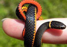 snakes on a finger2