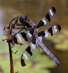 Google Afbeeldingen resultaat voor http://www.biology-blog.com/images/blogs/11-2006/dragonfly-4311.jpg